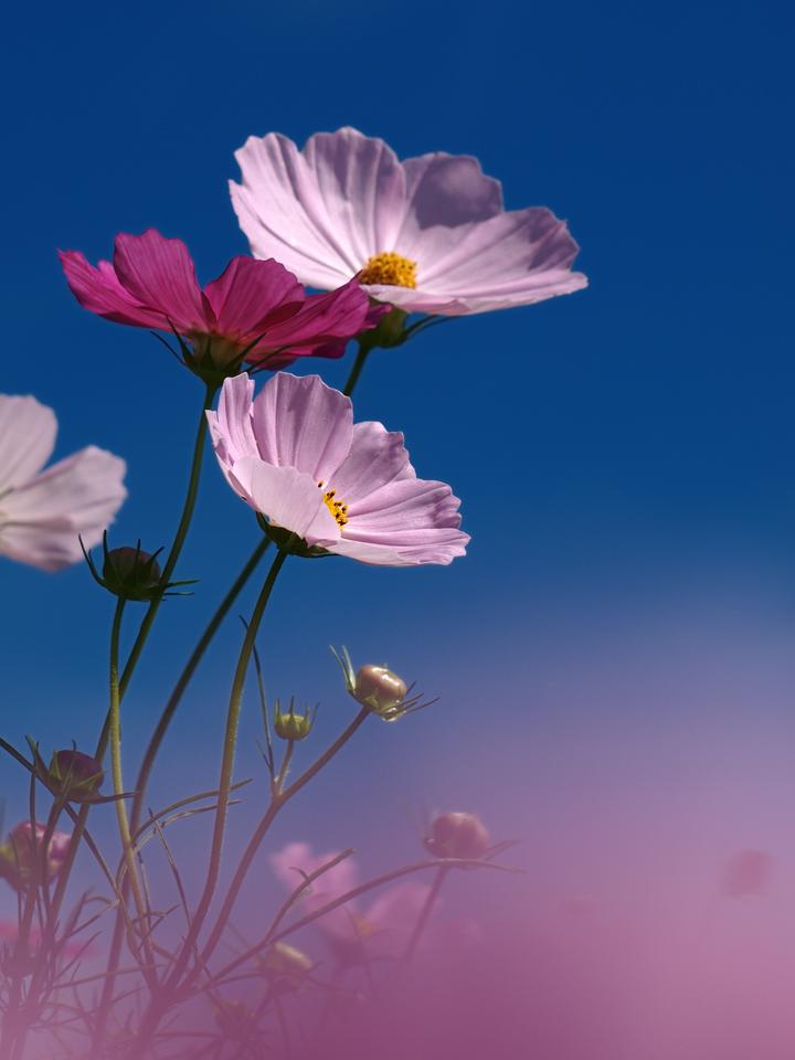 cosmos-pink-s.jpg