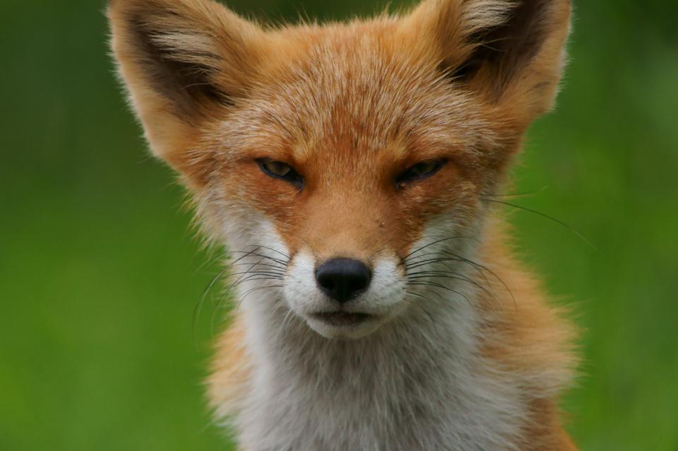 fox-001-s.jpg