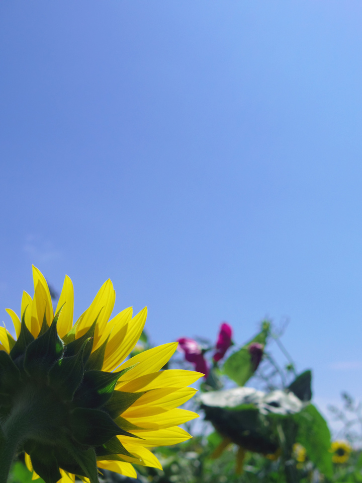 himawari-bluesky-s.jpg