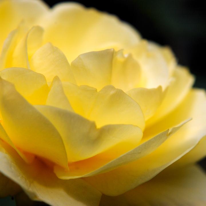 rose-yellow.jpg