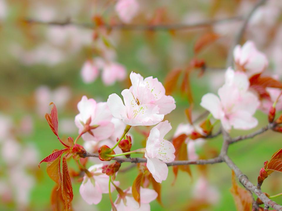 sakura-spring-s.jpg