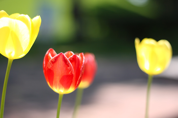 tulip-01.jpg