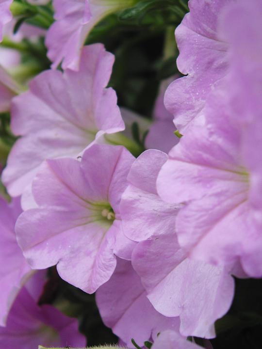 flower-magenta.jpg