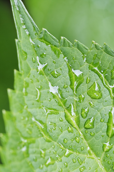 green_leaf_dxo_lr-02.jpg