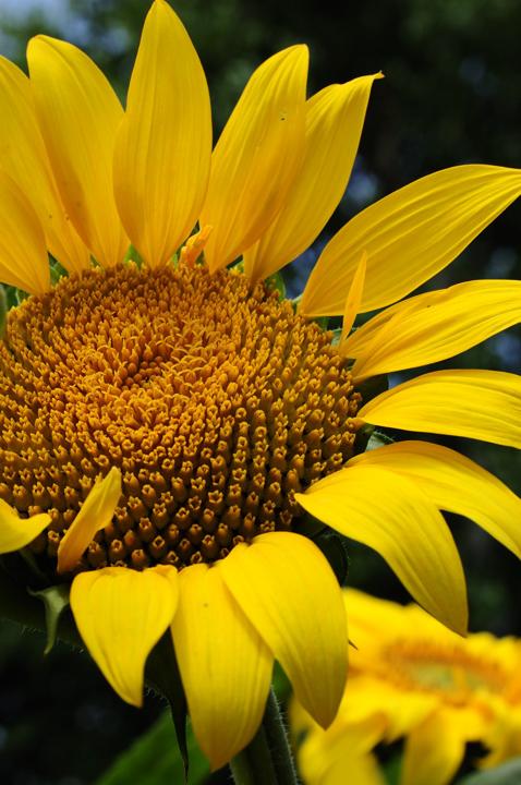 himawari-yellow-s.jpg