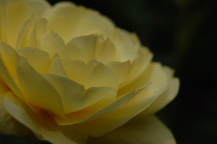 rose-yellow_01.jpg