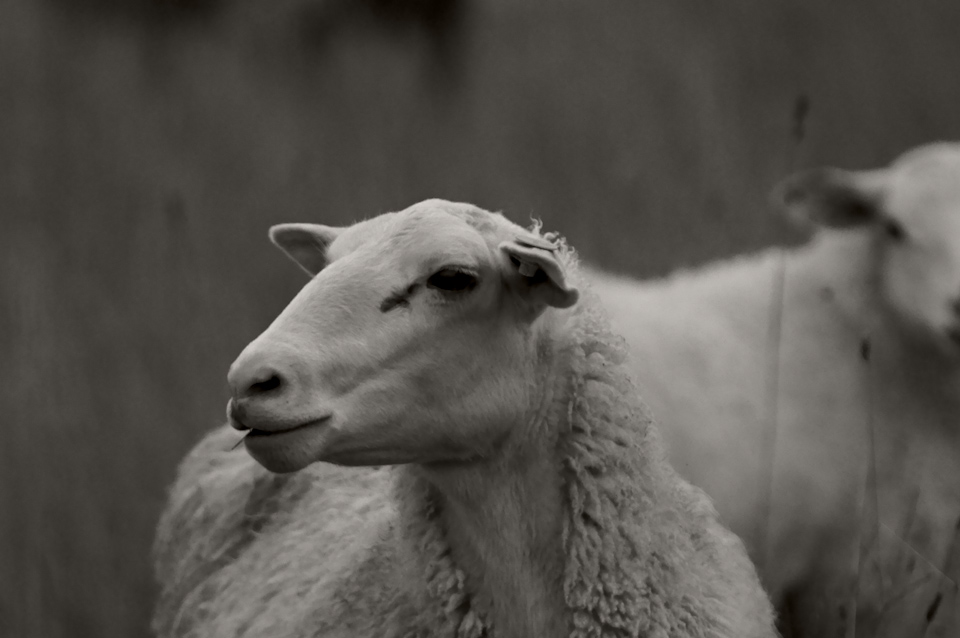sheep-face-s.jpg