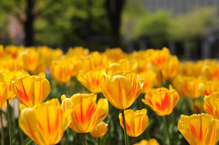 yellow-tulip-s.jpg